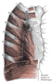 Thorax-diaphragm.png