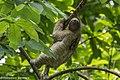 Three-toed Sloth - Cerro Ancon - Panama City (48454787416).jpg