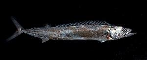 Thyrsites - Image: Thyrsites atun, Barracouta or snake Mackerel