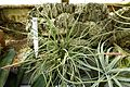 Tillandsia paleacea - Lyman Plant House, Smith College - DSC01960.jpg