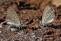 Tiny Grass Blue, Zizula gaika in Kinnarsani WS, AP W IMG 5996.jpg