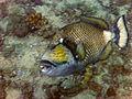 Titan Triggerfish - Ko Tao, Thailand 1049.jpg