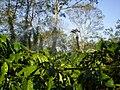 To water the coffee tree in dry season.jpg