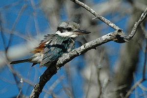 Red-backed kingfisher - Image: Todiramphus pyrrhopygia (female)