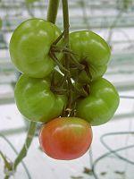 handbuch gem sebau tomate pflanzensch den pflanzenkrankheiten und wachstumskonkurrenz. Black Bedroom Furniture Sets. Home Design Ideas