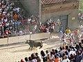 Toro enmaromado - Benavente (Zamora).JPG