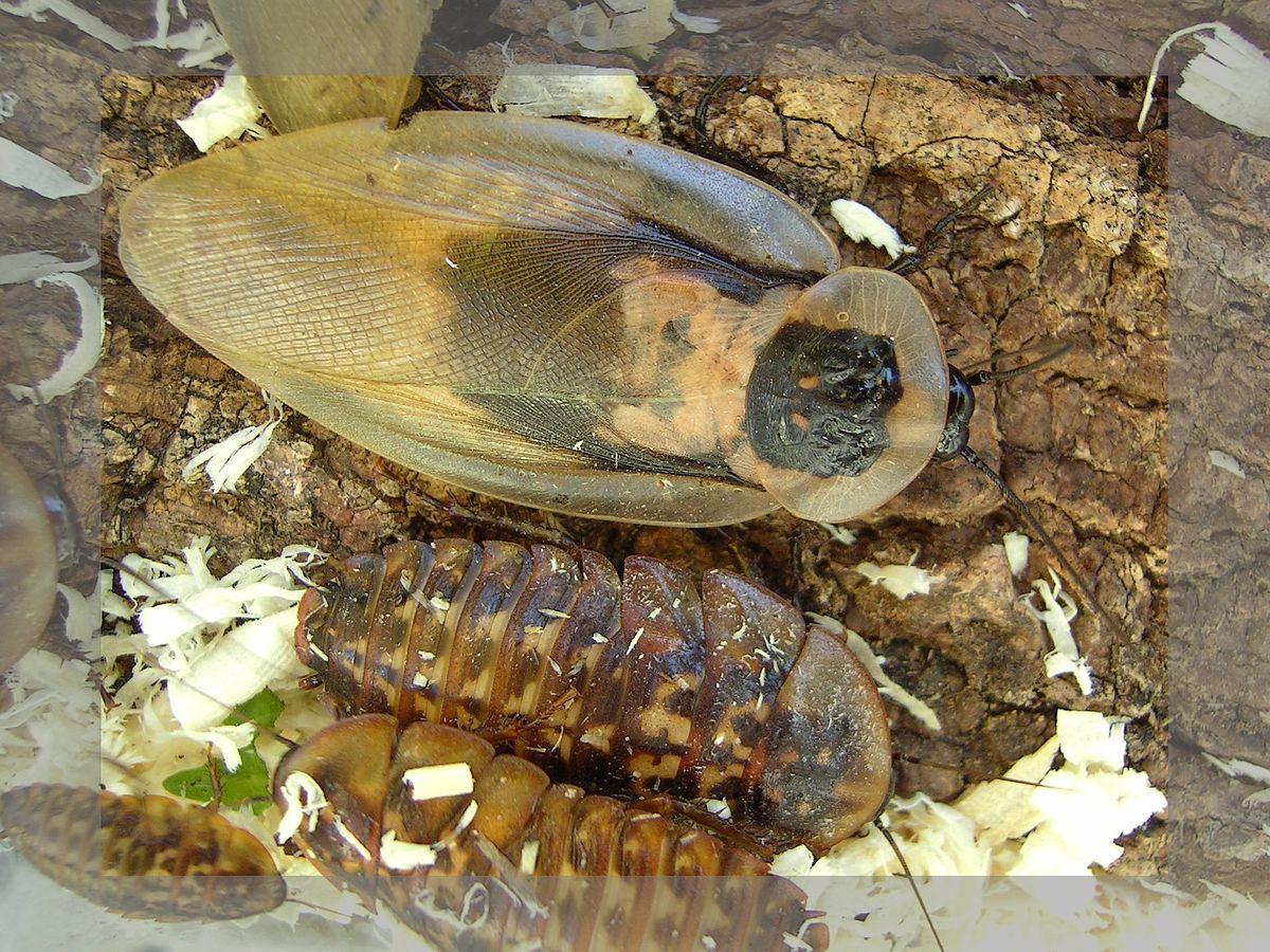 Afbeeldingsresultaat voor doodshoofdkakkerlak