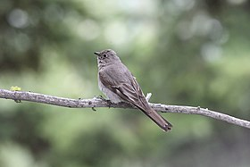 Townsend's Solitaire, Inside North Fork Rd., Glacier NP, July 3, 2012 (7498436234).jpg