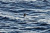 Townsends Shearwater (4684878289).jpg