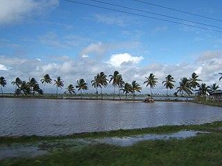 Rice production in Guyana