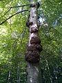 Tree canker (beech).JPG