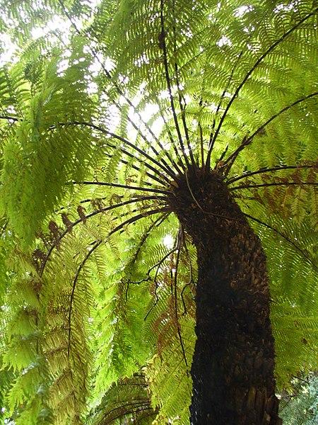 File:Tree fern 2.jpg