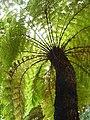 Tree fern 2.jpg