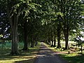 Tree lined avenue Hinton St Mary - geograph.org.uk - 557997.jpg