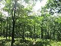 Trees along Bald Knob Trail.JPG