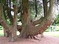 Trelissick Garden Tree - geograph.org.uk - 785427.jpg