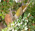 Treron calvus glaucus, in vyeboom, l, Pretoria.jpg