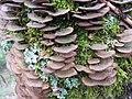 Trichaptum biforme 4.jpg