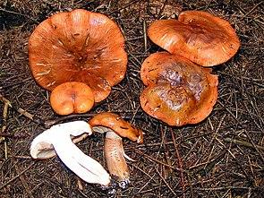 Orangeroter Ritterling (Tricholoma aurantium)