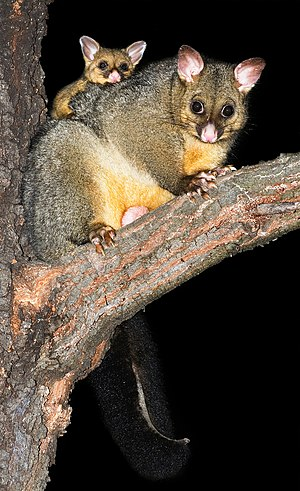 Common brushtail possum - Common brushtail possums at Austins Ferry, Tasmania, Australia