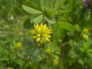 Trifolium dubium - Image: Trifolium Dubium bloem hr