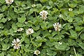 Trifolium repens blangy-tronville 80 07062007 3.jpg