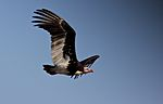Trigonoceps occipitalis -Kruger National Park, South Africa -flying-8.jpg