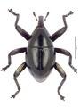 Trigonopterus evanidus (Pascoe), lectotype.tif