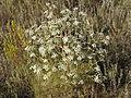 Trinia hispida (habitus) 2.jpg