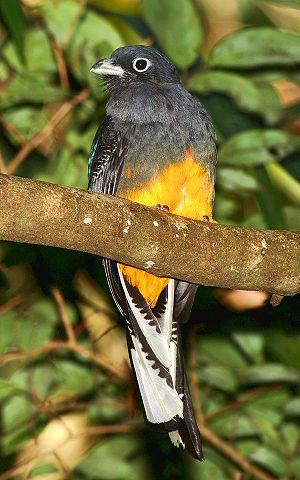 Soberanía National Park - An immature male White-tailed Trogon near Panama Pipeline Road, Parque Nacional Soberania