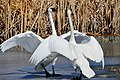 Trumpeter Swan Pair on Seedskadee National Wildlife Refuge (25675783215).jpg