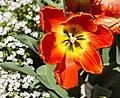 Tulipa 'Apeldoorn', Jardín Botánico de Múnich, Alemania, 2013-05-04, DD 02.jpg