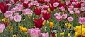 Tulips (4567657937).jpg