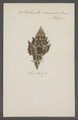 Turbinella ceramica - - Print - Iconographia Zoologica - Special Collections University of Amsterdam - UBAINV0274 084 04 0017.tif
