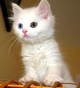 Bir Van kedisi yavrusu