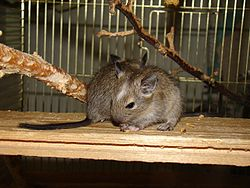 Two young degus.JPG