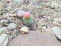 Uinta Basin Hookless Cactus (Sclerocatus wetlandicus) (16982167742).jpg
