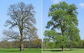 <i>Ulmus laevis</i> Species of tree