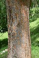 Ulmus parvifolia in Eastwoodhill Arboretum (1).jpg