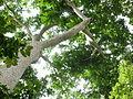 Umbrella canopy tree.jpg