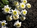 Unknown yellow-white flowers.JPG