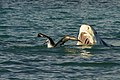 Unsuspecting Albatross (48782250793).jpg