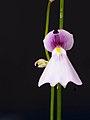 Utricularia blanchetii (34955606791).jpg