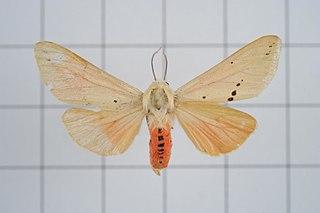 <i>Spilarctia subcarnea</i> species of insect