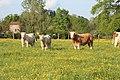 Vaches allée Pré Brus St Cyr Menthon 19.jpg