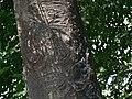 Varuna Vrukshamu (Telugu- వరుణ వృక్షము) (2068047193).jpg