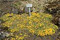 Vatalania primuflora - Oslo.jpg