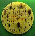 Verona, museo civico di storia naturale, esposizione di insetti, emitteri.jpg