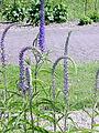 Veronica-longifolia01.jpg