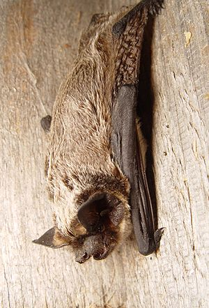 Parti-coloured bat - Image: Vespertilio murinus 2
